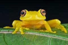 Gelber Glasfrosch Stockfotografie
