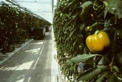 Gelber grüner Pfeffer, der an der Rebe hängt Stockbild