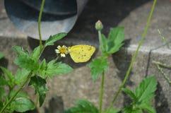 Gelber Grasschmetterling auf einem weißen und gelben Shaggy Soldier-Wildflower in Thailand stockfotos