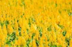 Gelber Hahnenkamm im Blumengarten Lizenzfreie Stockfotografie
