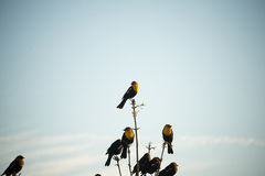 Gelber Hauptvogel Stockfoto