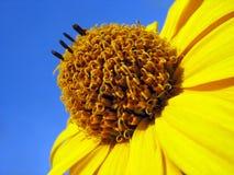 Gelber Heliopsis gegen Hintergrund des blauen Himmels Lizenzfreie Stockfotografie
