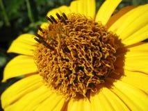 Gelber Heliopsisblumenabschluß oben Stockfotos