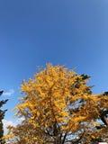 Gelber Herbstbaum und der blaue Himmel mit Wolke Stockfotografie