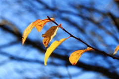 Gelber Herbstlaub auf den Niederlassungen gegen blauen Himmel Stockfoto