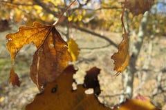 Gelber Herbstlaub auf einem hellen Hintergrund des blauen Himmels Stockfoto