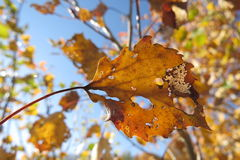 Gelber Herbstlaub auf einem hellen Hintergrund des blauen Himmels Stockbilder