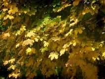 Gelber Herbstlaub des Ahorns Stockbilder