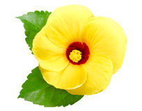 Gelber Hibiscus Lizenzfreie Stockbilder