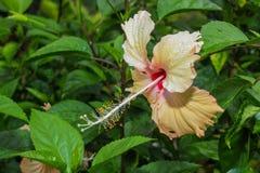 Gelber Hibiscus Stockbilder