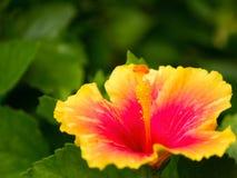 Gelber Hibiscus stockfoto