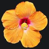 Gelber Hibiscus Lizenzfreie Stockfotografie