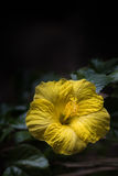 Gelber Hibiscus gegen einen dunklen Hintergrund Stockfoto