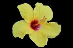 Gelber Hibiscus lokalisierter schwarzer Hintergrund Lizenzfreies Stockfoto