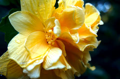 Gelber Hibiscus Rosa Lizenzfreie Stockfotografie