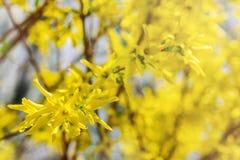 Gelber Hintergrund des Aquarells Blühender Baum der scharfen und defocused Blumen Blühende Baumaste mit Blumen Kopieren Sie Platz Stockfotos