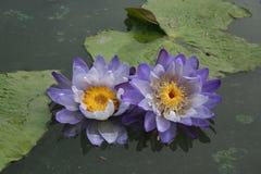 Gelber Hintergrund purpurroter Staubgefässe Lotuss mit Grün verlässt im Teich lizenzfreies stockbild