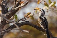 Gelber Hornbill stockfotografie