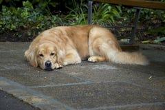 Gelber Hund lizenzfreies stockbild