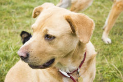 Gelber Hund Lizenzfreie Stockbilder