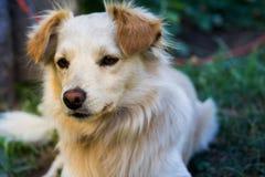 Gelber Hund, der das vordere Whitgras des Hintergrundes betrachtet Lizenzfreie Stockfotos