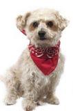 Gelber Hund mit einem roten Bandana Stockfotos