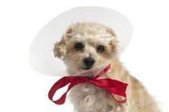 Gelber Hund mit Plastikohrschutz Lizenzfreie Stockfotos