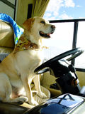 Gelber Hundeantreiben lizenzfreies stockbild