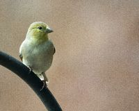 Gelber Kanarienvogel stockfotos