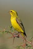 Gelber Kanarienvogel lizenzfreie stockbilder