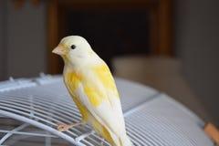 Gelber Kanarienvogel auf seinem Käfig stockbilder