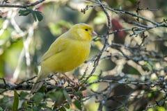 Gelber Kanarienvogel, Crithagra-flaviventris lizenzfreies stockfoto