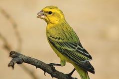 Gelber Kanarienvogel - Portrait des Goldes stockbilder