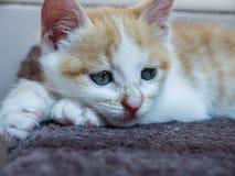 Gelber Katze Nulla-luctus Felis Lizenzfreie Stockfotos