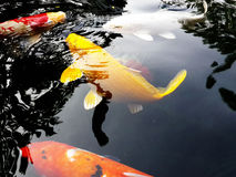 Gelber Koi Fish lizenzfreies stockfoto