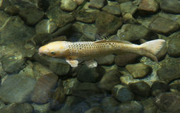 Gelber Koi Fish Swimming Stockbild
