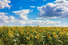 Gelber Kopf der Sonnenblume Lizenzfreie Stockfotos