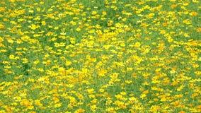 Gelber Kosmosschwefel-Blumengarten stock footage