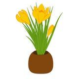 Gelber Krokus drei im braunen Topf lokalisiert auf weißem Hintergrund Blumenstrauß mit Krokus Auch im corel abgehobenen Betrag Stockbilder