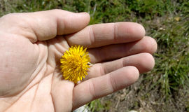 Gelber Löwenzahn in der Palme Ihrer Hand Stockfoto
