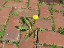 Gelber Löwenzahn, Taraxacum officinale, wachsend auf Pflasterung Stockfotografie