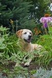 Gelber Labrador-Apportierhund Stockfotos