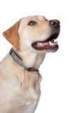 Gelber Labrador-Apportierhund Stockfotografie