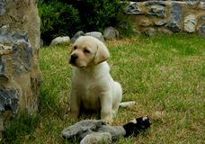 Gelber Labrador-Apportierhund-Welpe Lizenzfreies Stockbild
