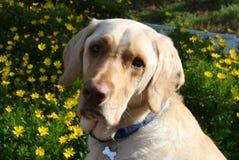 Gelber Labrador retriever-Hund mit gelben Blumen Lizenzfreies Stockfoto