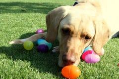 Gelber Labrador retriever-Hund mit Ostereiern Lizenzfreie Stockbilder