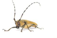 Gelber lang-gehörnter Käfer auf Weiß Lizenzfreies Stockbild