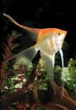 Gelber langer gerippter Angel Fish in einem Aquarium Stockfoto