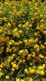 Gelber Lantana in der heißen Wüstenlandschaft Stockbilder