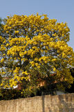 Gelber Lapacho-Baum Lizenzfreie Stockfotos